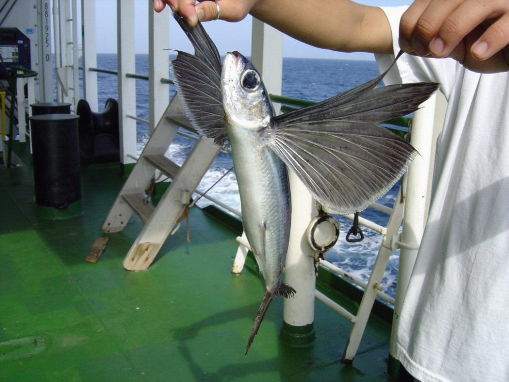 фото летающий рыбы этому рецепту всегда