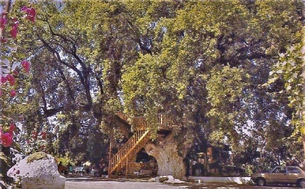 https://allaboutlimassol.com/en/royal-oak-the-giant-tree-that-became-a-landmark-of-the-limassol-mountain-area